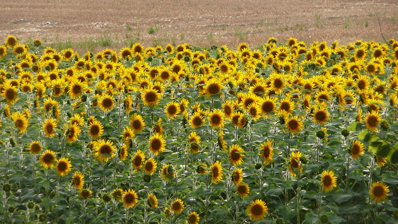 sunflowers2JPG