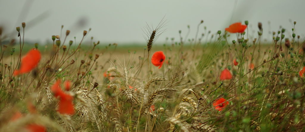 1024px-Poppies_090812